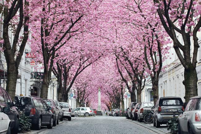Bonn-Cerejeiras-Primavera