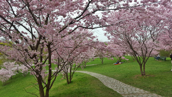 Primavera em Munique, Cerejeiras, Olympiapark